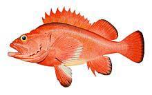 Rockfish SOD Superoxide Dismutase